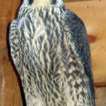 Which hawk is that? Ocean State Bird Club workshop says behavior may hold key