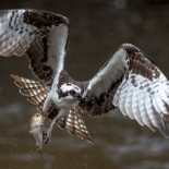 Watching the Raptors: ASRI trains citizens to monitor Ospreys