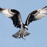 An Osprey Named Lizzie