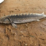 Stone, Sturgeon, and Golden Eyes:  Celebrating RI Natural History Week