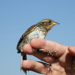 Watching the Titanic: Salt Marsh Sparrows and Sea Level Rise