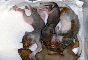 Baby squirrels recovered from the ground.