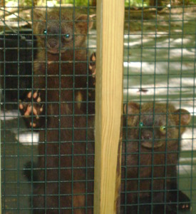 Two of three fisher cats.  Note the claws.