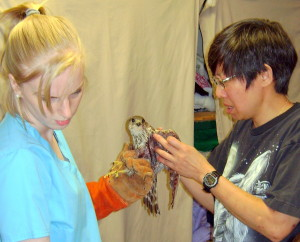 Vet technician Catherine Jones (l.) holds a Merlin  while Dr. Chi Chan examines it.