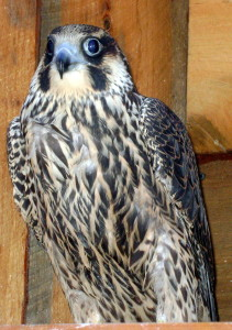 A young female peregrine falcon in a rehabilitation cage.