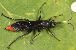 Female Protichneumon Grandis (Photo by Tom Murray)
