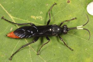 Female Protichneumon Grandis (Photo by Tom Murray)