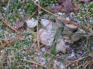 "Graupel amid the frozen remains of ""puffer mushrooms"", described in another post."