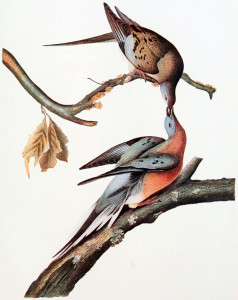 John James Audubon's rendition of passenger pigeons.