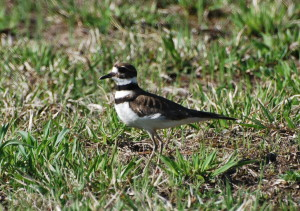 The killdeer, winner of the award for worst nest location.