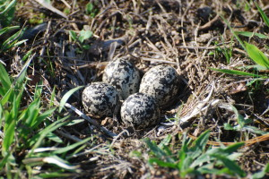 Four eggs in the nearly non-existent nest of the killdeer.