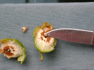 An oak gall in late spring. Note the spongy material inside, along with the tiny wasp pupa on the tip of the knife.