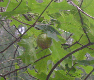 An oak gall hangs from the branch of a tree.