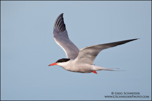 Common Tern (Sterna hirundo) in flight near Lake Ontario. Photo: gschneiderphoto.com .