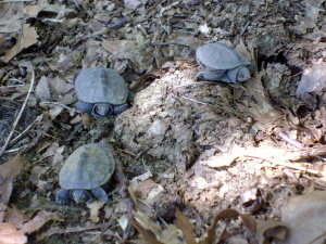 Three terrapins sit amid the leaf litter.