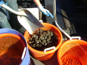 Buckets of sea squirts.