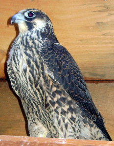 A juvenile Peregrine Falcon.