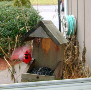 A cardinal is one of the regular visitors to feeders all over New England.