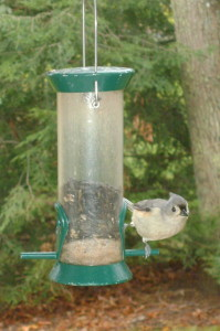 A Tufted Titmouse feeds on black oil sunflower seeds.