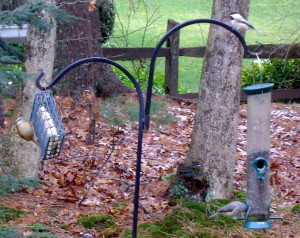 Double feeder setup with a suet cake in a squirrel-proof cage and a tube feeder. Clockwise from left are Carolina Wren, Black-Capped Chickadee, and Tufted Titmouse.