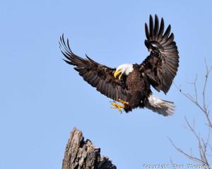 Bald Eagle 9453
