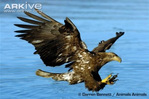 Juvenile-bald-eagle-fishing