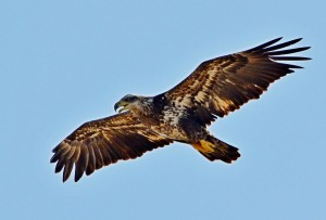 juvenile-bald-eagle-in-flight-close-up-jeff-at-jsj-photography
