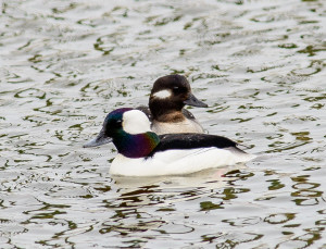 Buffleheads. Photo by Ed Hughes.