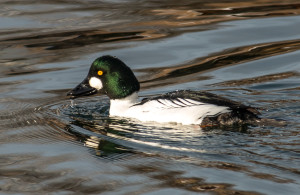 Goldeneye.  Photo by Ed Hughes.