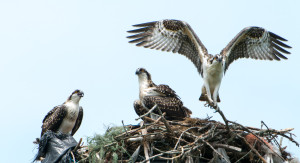Osprey nest at Quonset Point. Photo: Ed Hughes.