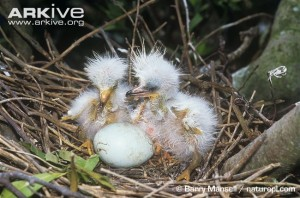 Newly hatched great egret chicks, also known to be practitioners of siblicide.