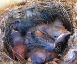 Brown-headed Cowbird chick dwarfs its nestmates. Its enormous size guarantees things will not go well for its roommates.