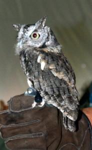 Screech owl.