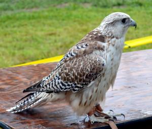 Saker's hawk.