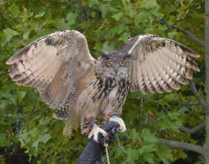 """""""Big Mamma"""", Schumacher's European Eagle owl."""