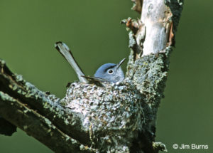 Blue-gray Gnatcatcher on nest. Photo: jimburnsphoto.com