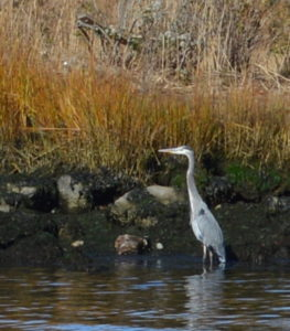 A Great Blue Heron along the Pawcatuck.