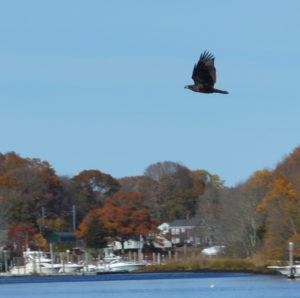 A juvenile Bald Eagle crosses the bow of the boat.