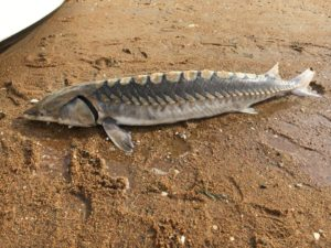 A short nosed sturgeon on the beach at Block Island. Photo: The Ocean View Foundation.