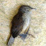 Life, Death, and the Odds: Perils of a First Year Bird
