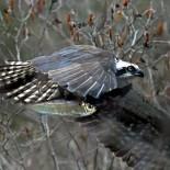 Ospreys Return