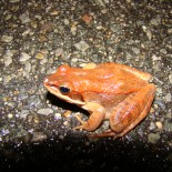 An Army of Frogs, a Knot of Toads: Spring means a big night for amphibians